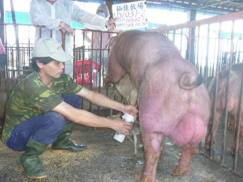 台灣區種豬產業協會10310期D1031-02採精相片