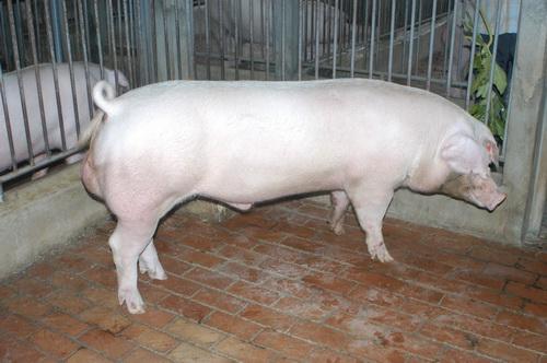 中央畜產會201407期L1696-09體型-全身照片