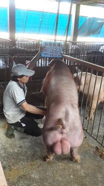 台灣區種豬產業協會10310期D1025-05採精相片