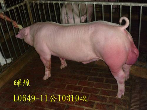 台灣區種豬產業協會10310期L0649-11側面相片