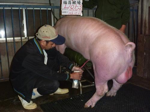 台灣區種豬產業協會10311期L0101-03採精相片
