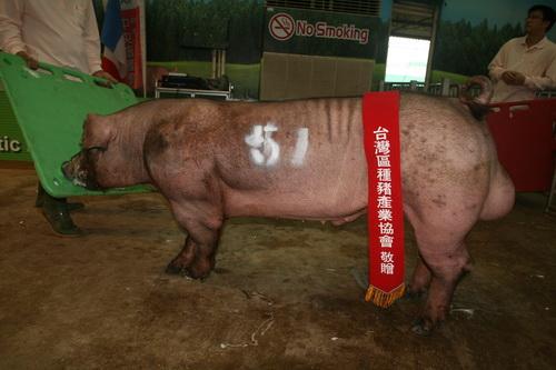 台灣區種豬產業協會10311期D1654-03拍賣相片(高價豬)