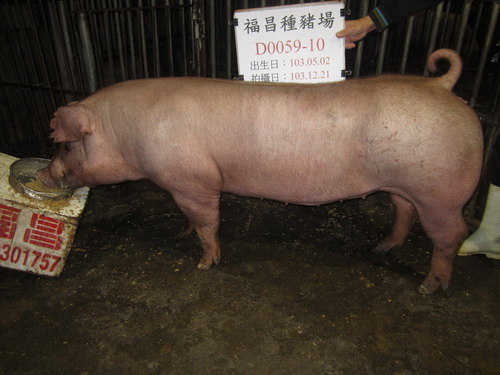 台灣區種豬產業協會場內檢定103T2次D0059-10側面相片