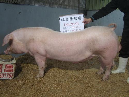 台灣區種豬產業協會場內檢定103T2次L0126-01側面相片