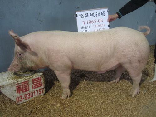 台灣區種豬產業協會場內檢定103T2次Y1065-03側面相片