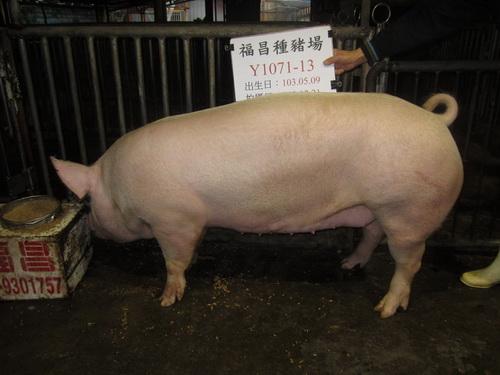 台灣區種豬產業協會場內檢定103T2次Y1071-13側面相片