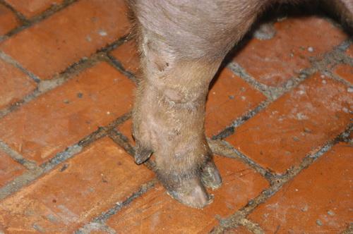 中央畜產會201409期D0615-03體型-四肢相片