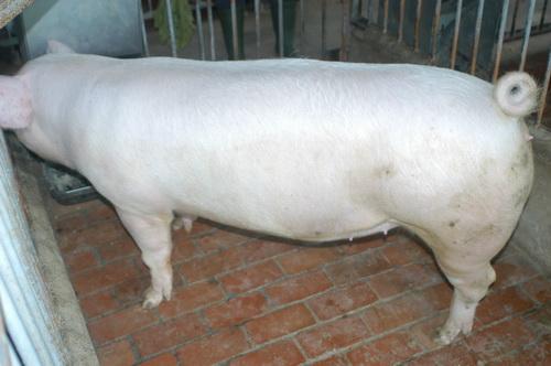 中央畜產會201409期L0686-03體型-全身照片