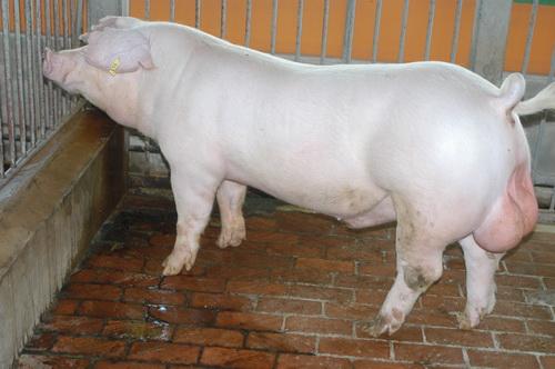 中央畜產會201409期L0756-11體型-全身照片