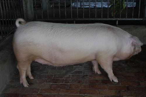 中央畜產會201410期L1349-08體型-全身照片