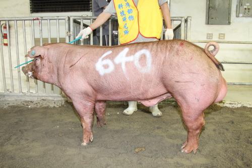 台灣動物科技研究所竹南檢定站10208期D0861-01拍賣相片(高價豬)