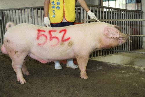 台灣動物科技研究所竹南檢定站10207期L1148-15拍賣相片(高價豬)