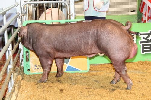 中央畜產會201409期D0300-05拍賣照片(高價豬)