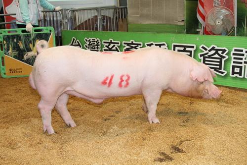 中央畜產會201407期L0197-04拍賣照片(高價豬)