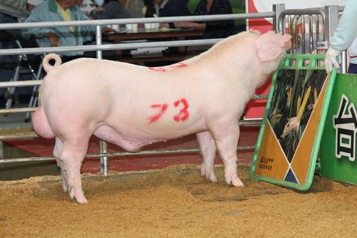 中央畜產會201409期L0756-14拍賣照片(高價豬)