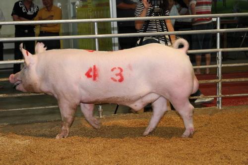 中央畜產會201405期Y1068-04拍賣照片(高價豬)