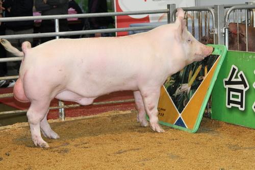 中央畜產會201409期Y0301-04拍賣照片(高價豬)