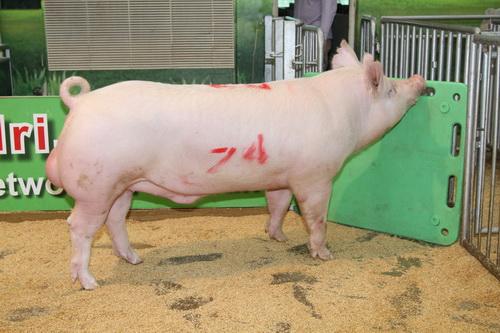 中央畜產會201409期Y0301-06拍賣照片(高價豬)