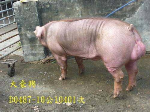 台灣區種豬產業協會10401期D0487-10側面相片