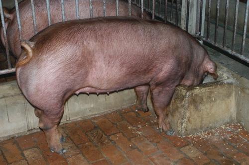 中央畜產會201411期D1236-11體型-全身照片