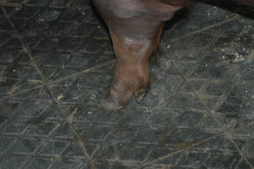 中央畜產會201411期D0658-07體型-四肢相片