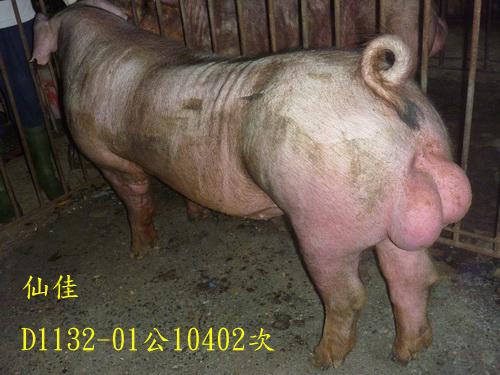 台灣區種豬產業協會10402期D1132-01側面相片