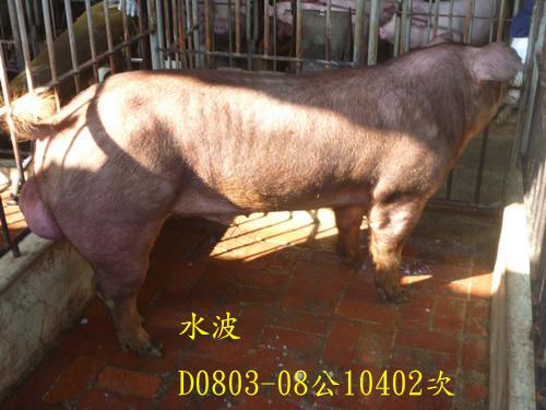 台灣區種豬產業協會10402期D0803-08側面相片