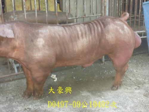 台灣區種豬產業協會10402期D0497-09側面相片