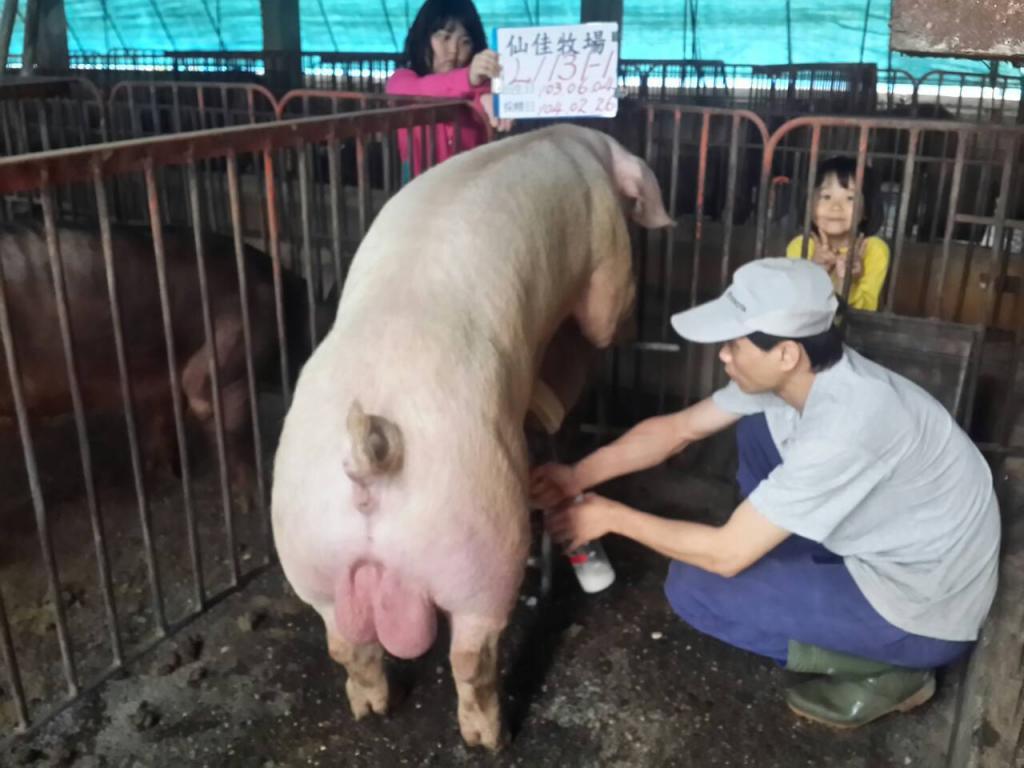 台灣區種豬產業協會10402期L1131-01採精相片