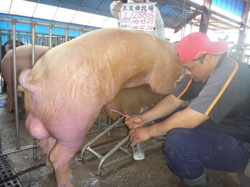 台灣區種豬產業協會10402期L1288-15採精相片