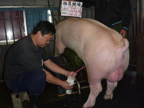 台灣區種豬產業協會10402期L0194-03採精相片