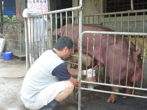 台灣區種豬產業協會10403期D0518-10採精相片