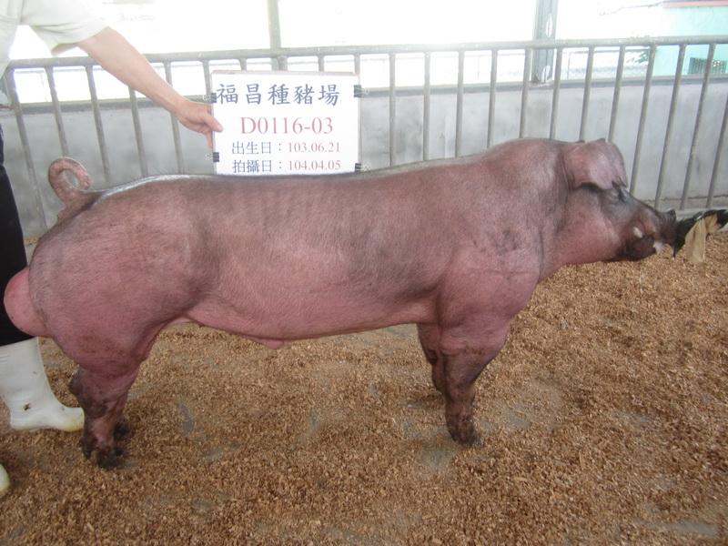 台灣區種豬產業協會10403期D0116-03側面相片