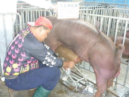 台灣區種豬產業協會10403期D1003-09採精相片