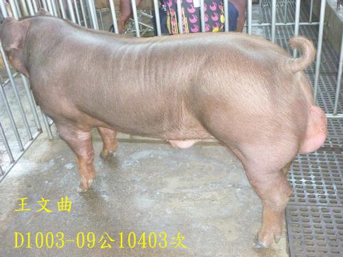 台灣區種豬產業協會10403期D1003-09側面相片