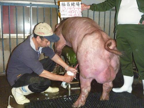 台灣區種豬產業協會10403期D0145-04採精相片