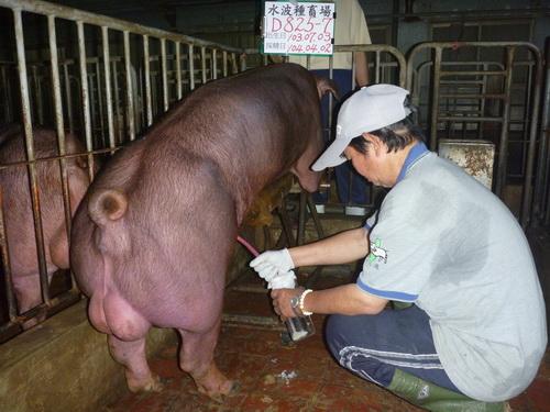 台灣區種豬產業協會10403期D0825-07採精相片