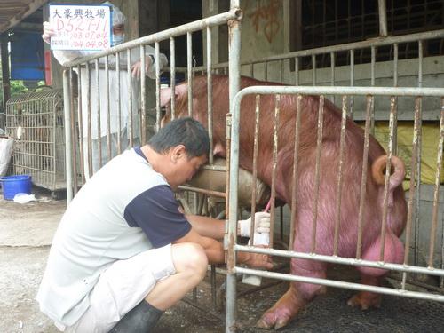 台灣區種豬產業協會10403期D0527-11採精相片