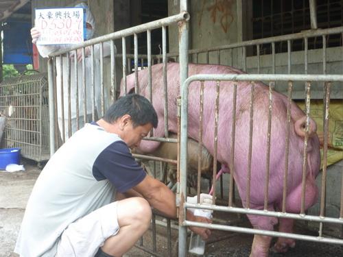 台灣區種豬產業協會10403期D0530-09採精相片