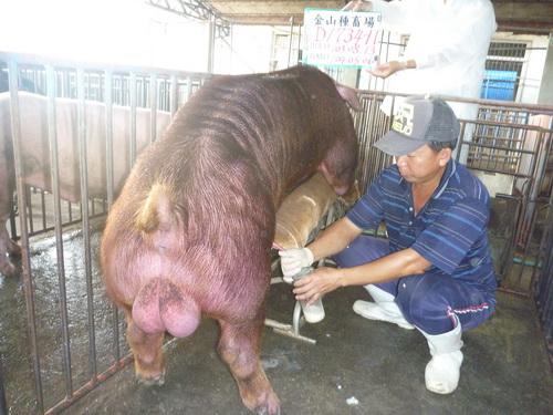 台灣區種豬產業協會10404期D1734-11採精相片