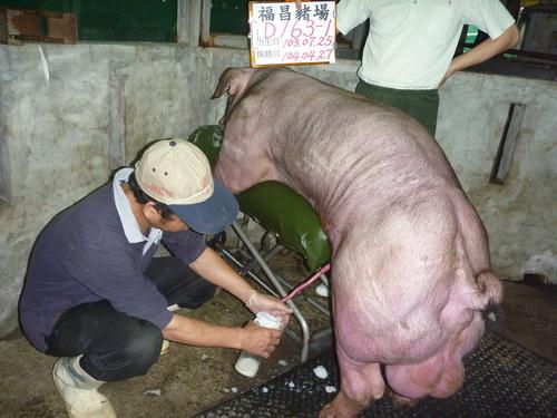 台灣區種豬產業協會10404期D0163-01採精相片
