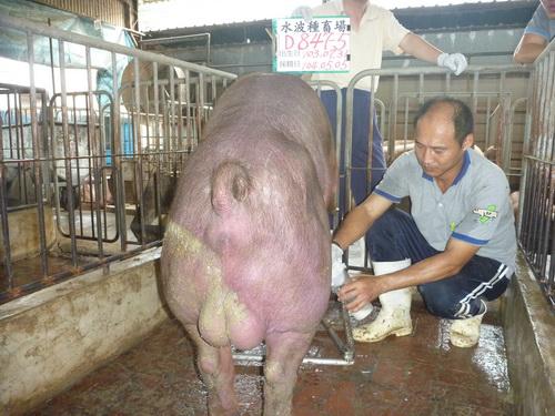 台灣區種豬產業協會10404期D0847-05採精相片