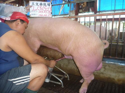 台灣區種豬產業協會10404期L1315-13採精相片