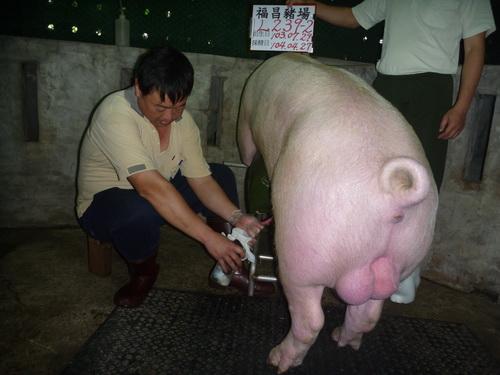 台灣區種豬產業協會10404期L0239-02採精相片