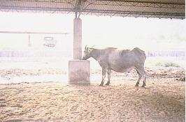 水牛保種環境 -納涼設施(2) (畜產種原庫及基因交流p36)