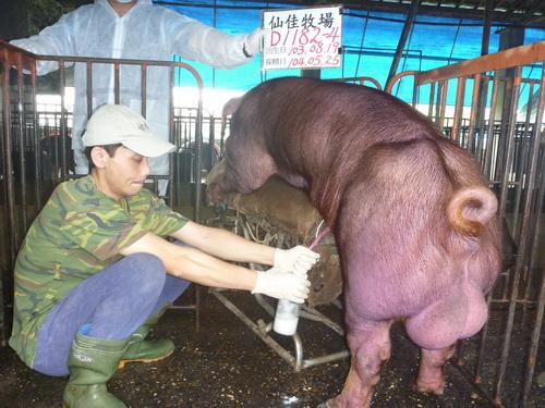 台灣區種豬產業協會10405期D1182-04採精相片