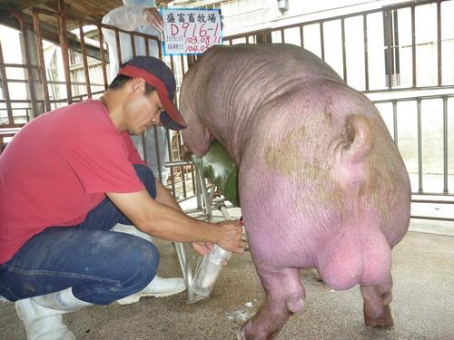 台灣區種豬產業協會10405期D0916-01採精相片