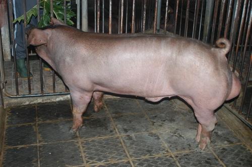 中央畜產會201503期D1304-01體型-全身照片