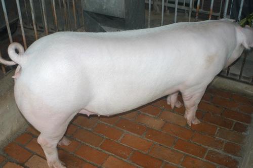 中央畜產會201503期L1977-03體型-全身照片