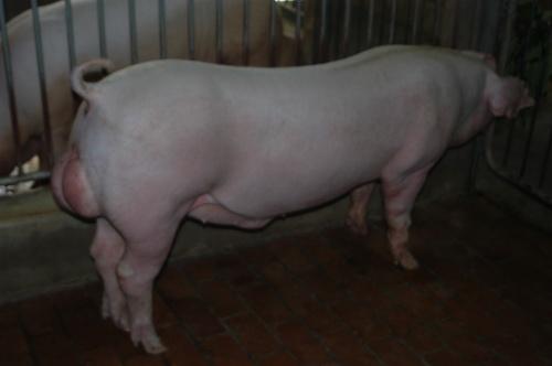 中央畜產會201503期L0811-07體型-全身照片